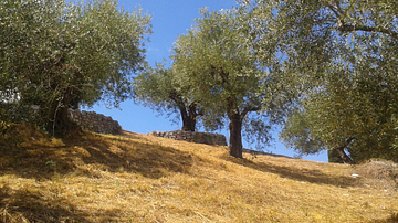 The Olive in the Ancient Mediterranean
